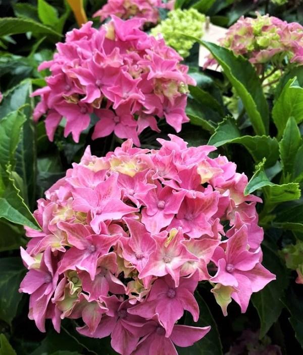 hortensia rosa hydrangea
