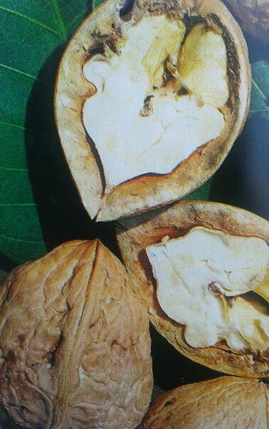 juglans regia nogal árbol frutal