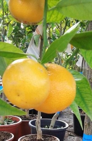 mandarino árbol frutal cítrico