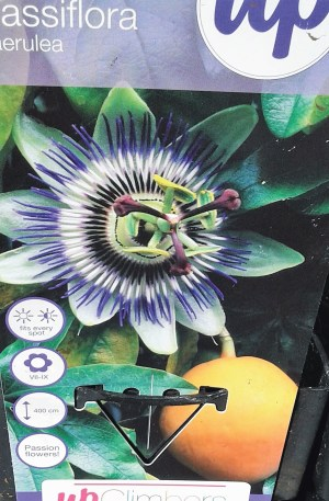 passiflora caerulea pasionaria