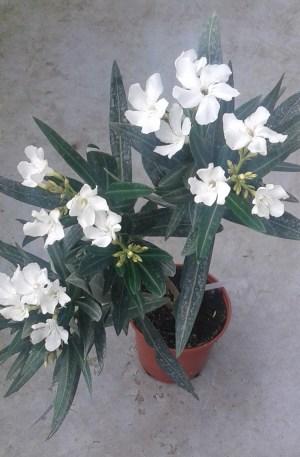 adelfa blanca nerium oleander