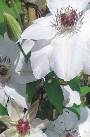 clematis miss bateman blanca