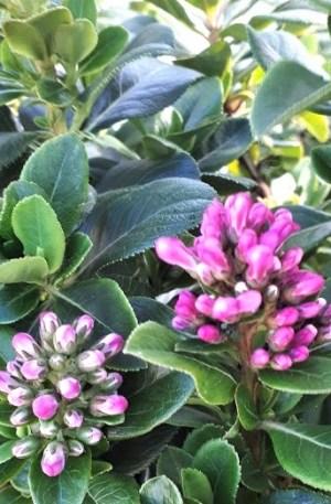 escallonia pink elle escalonia