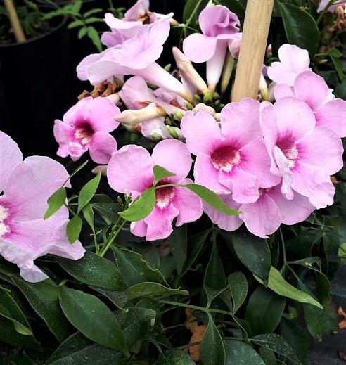 pandorea bignonia rosa