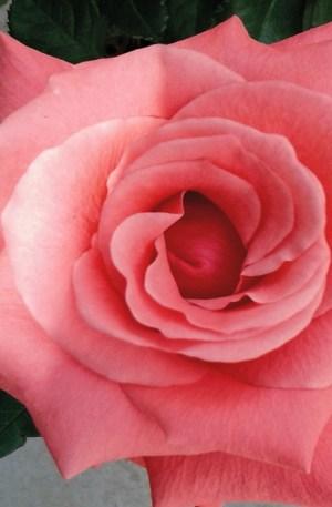 planta de rosal rosa