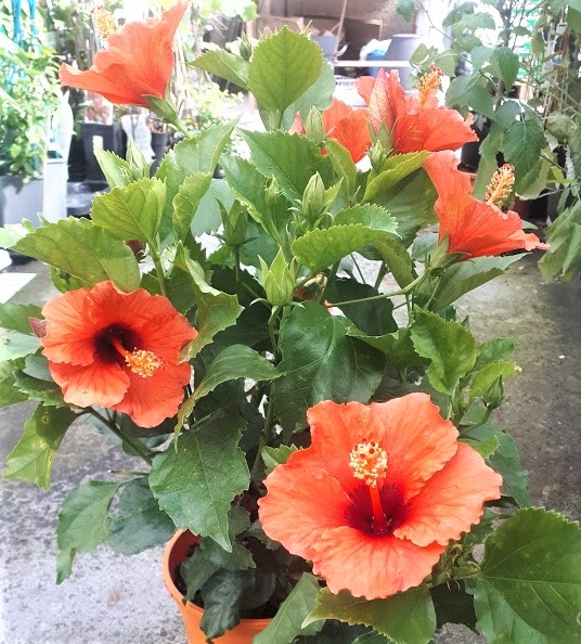 rosa sinensis naranja hibisco