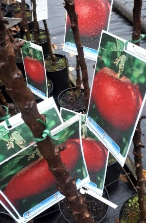 manzano anna árbol frutal