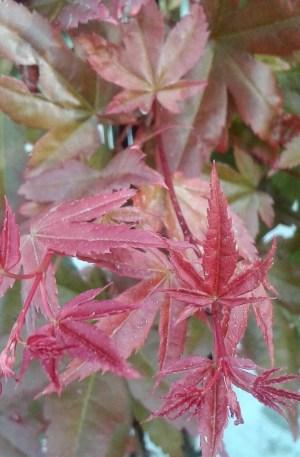 acer palmatum deshojo arce japones