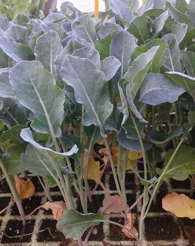 brócoli, planta
