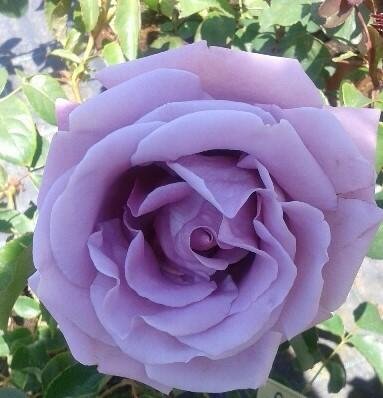 rosal azul planta