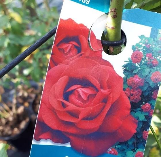 rosal trepador rojo