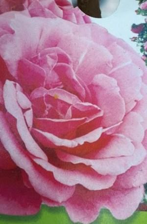 rosal trepador rosa, trepadora