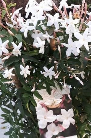 jazmin jasminum polyanthum