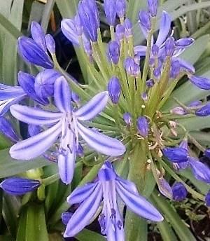 agapanths azul
