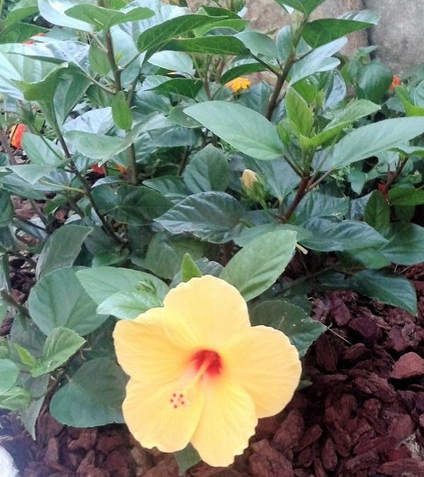 hibisco rosa sinensis amarillo