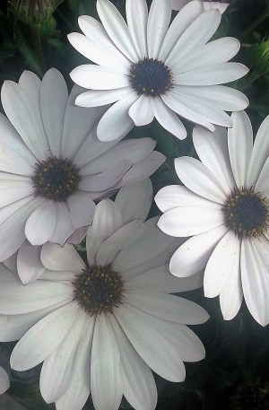 margarita blanca centro azul