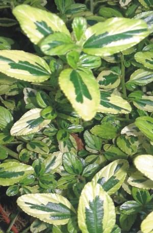 planta de ceanothus variegata