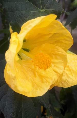abutilon amarillo FAROLLILLO CHINO