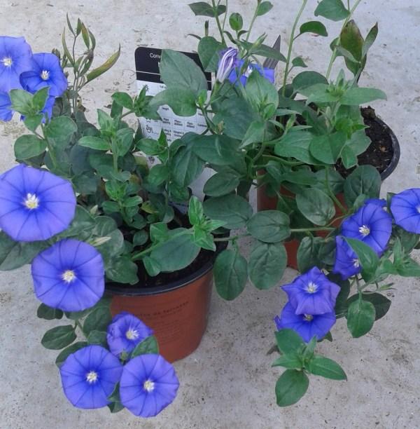 convolvulus blue