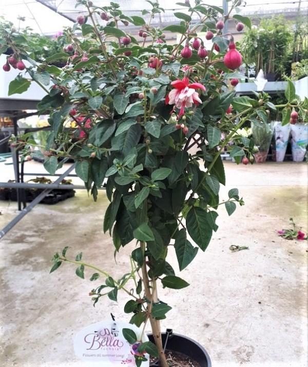 fuchsia pendientes de la reina en copa planta