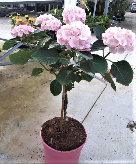 hortensia copa rosa hydrangea