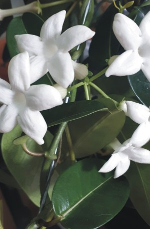 jazmin de madagascar planta interior olorosa trepadora