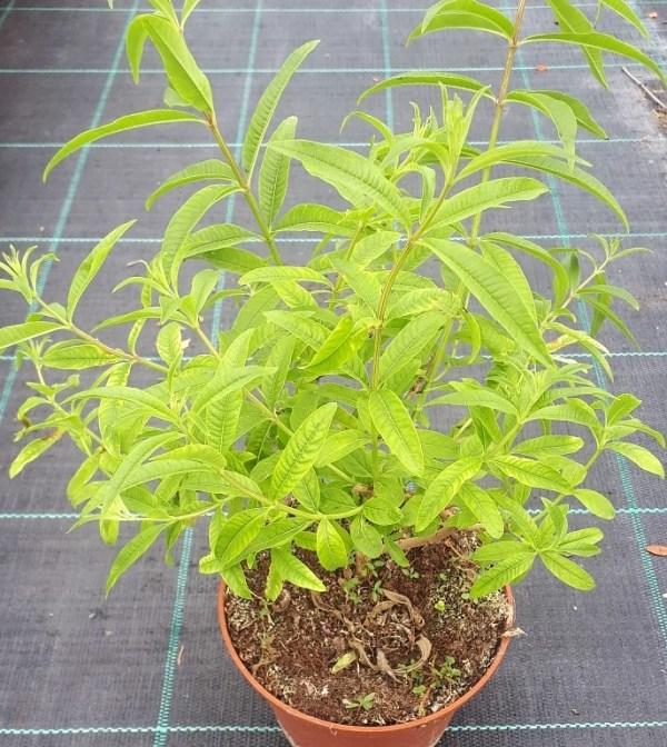 planta aromática de hierba luisa