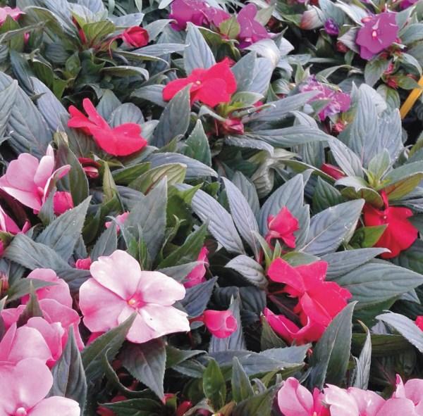 planta de alegria guineana mix