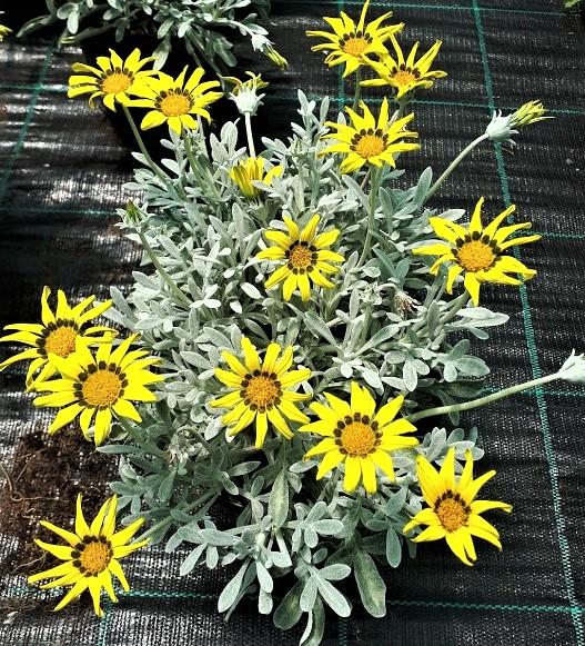 gazania nivea hoja plateada flor amarilla