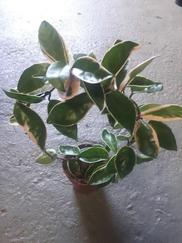 hoya australis flor de cera variegata