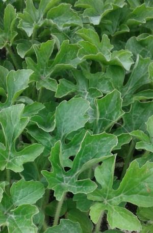 sandía planta