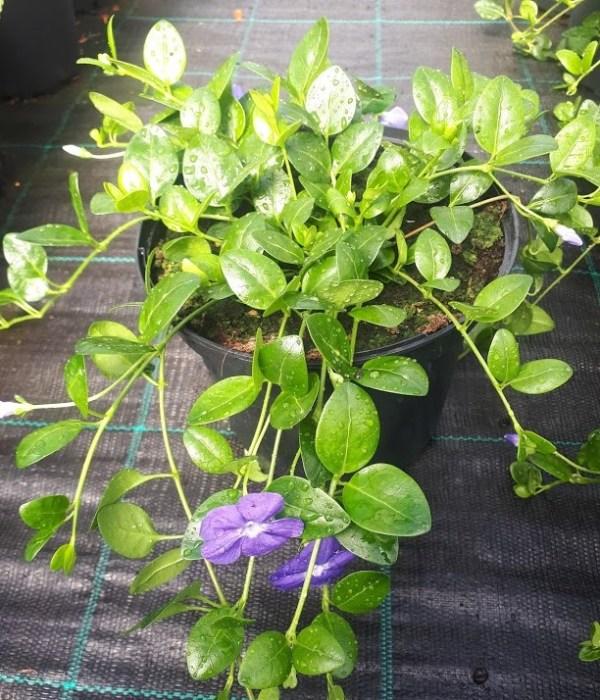 vinca minor flor azul
