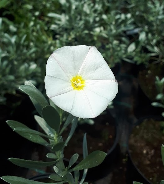 convolvulus cneorum campanilla plateada