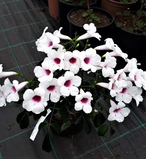 pandorea blanca planta trepadora