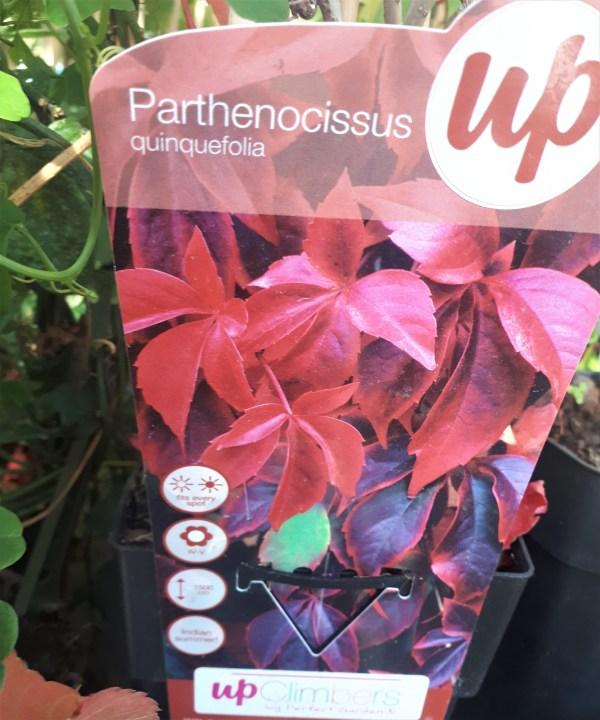 partenocissus quinquefolia parra virgen