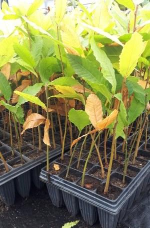 castaño castanea sativa planta