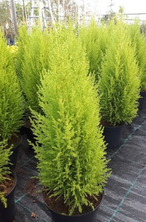 cupressus wilma golden crest plantas