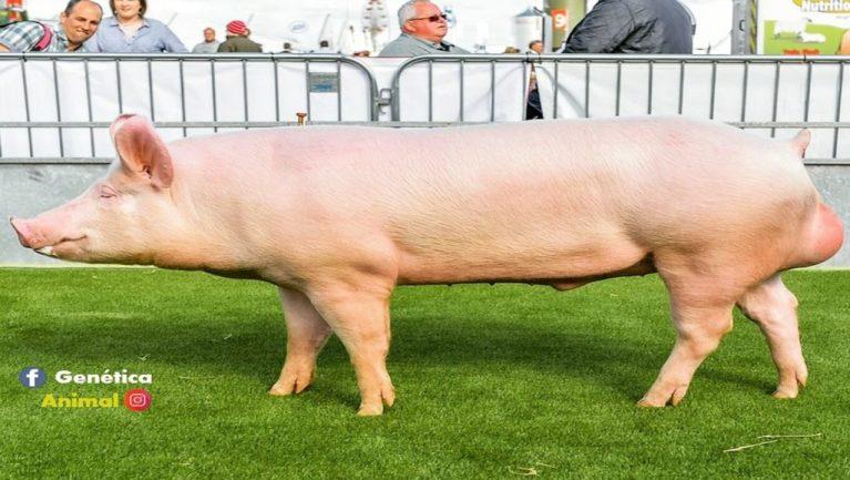 cerdo para engordar