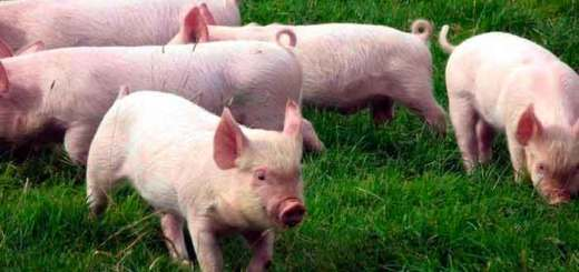 como criar cerdos