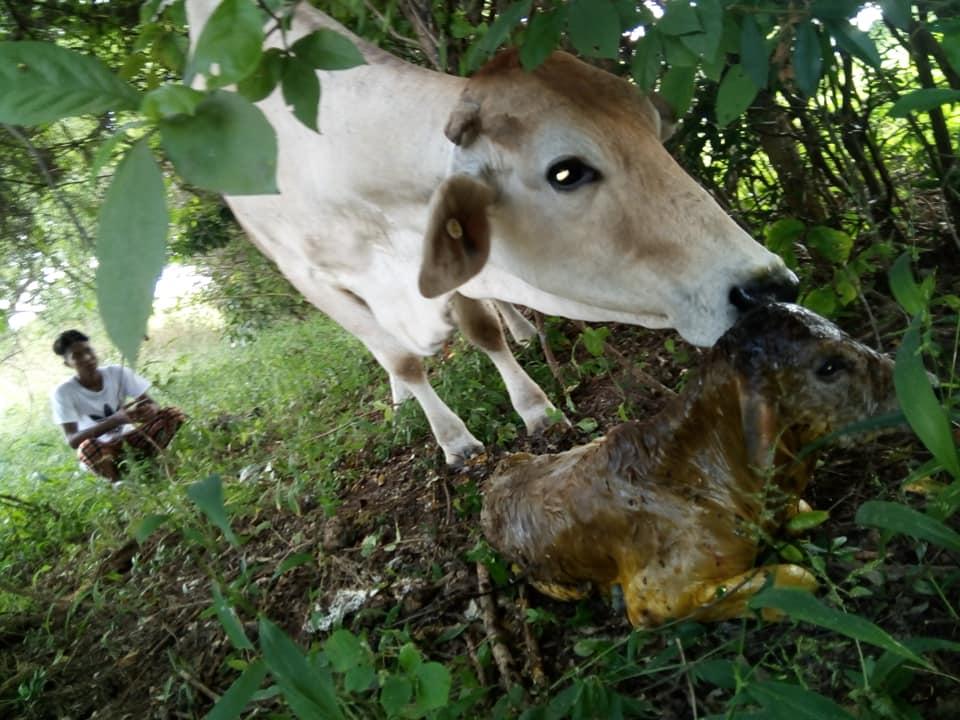 Como ayudar a una vaca con problemas de parto