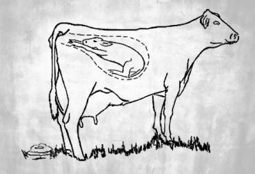 Vaca no puede parir ¿Que hacer?