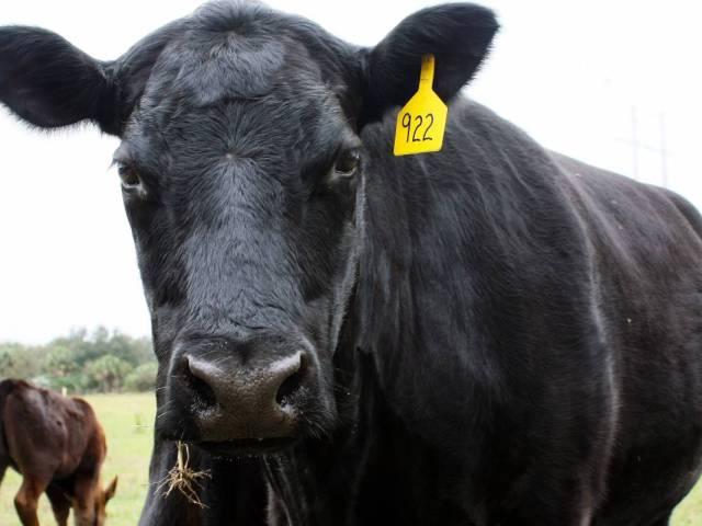 vaca raza angus negra