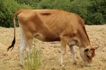 vaca raza jersey