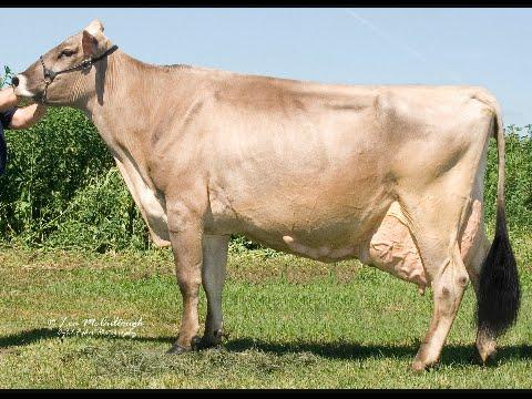 Origen e historia del ganado marrón suizo (Brown Swiss)