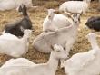 Cómo aumentar la cría de cabras
