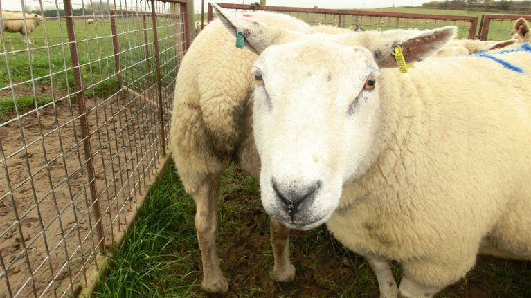 ovejas cercas y corrales