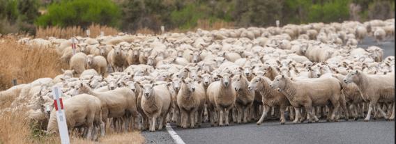 rebaño grupo de ovejas