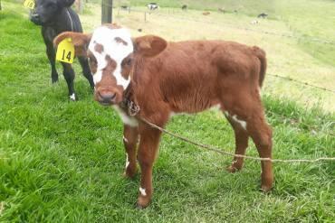 Información completa de la raza del ganado armorican