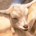 imagen de una cabra