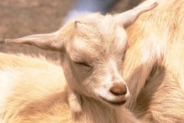 Como saber si una cabra esta a punto de parir o dar a luz